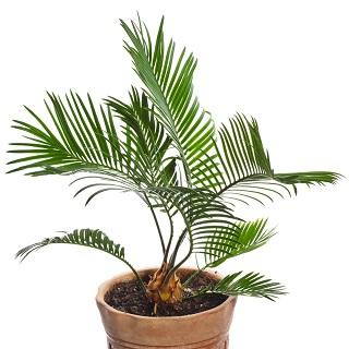 Nasiona palmy