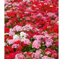 Pelargonia - mieszanka kolorów