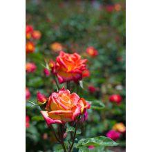 Róża wielkokwiatowa pomarańczowo-czerwona - sadzonka