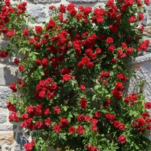 Róża pnąca czerwona - sadzonka
