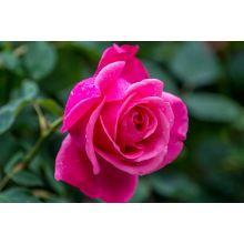 Róża wielkokwiatowa różowa - sadzonka
