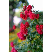 Róża rabatowa czerwona - sadzonka