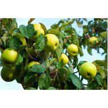 Jabłoń Antonówka sadzonki