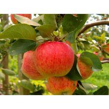 Jabłoń Piros drzewka