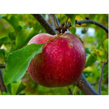 Jabłoń Szampion sadzonki