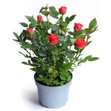 Róża miniaturowa czerwona sadzonki