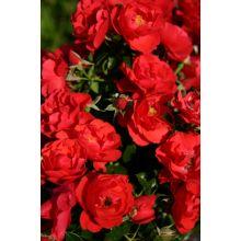 Róża okrywowa czerwona sadzonki