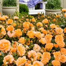 Róża okrywowa herbaciana sadzonki