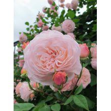 Róża pnąca jasnoróżowa - sadzonka