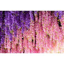 Sadzonka różowej wisterii