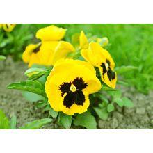 Bratek wielkokwiatowy – żółty z czarną plamą