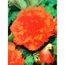Begonia strzępiasta - pomarańczowa - 2 szt.