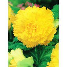 Begonia strzępiasta - żółta - 2 szt.