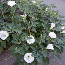 Bieluń surmikwiat – biały