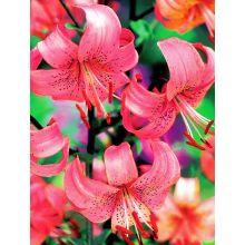 Lilia tygrysia - Pink Tiger - 1 szt.