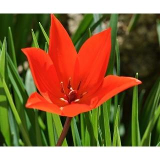 Tulipan Van Tubergen's Variety