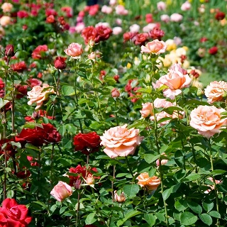 e8801bea6a8c7e Róże wielkokwiatowe - Sklep Świat Kwiatów | Dostawa gratis!