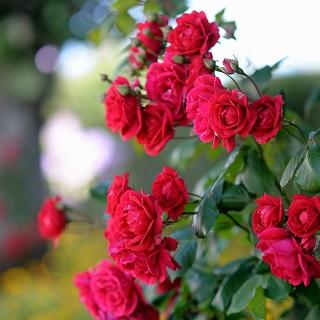 ecc1f8d1a2e3bd Sadzonki róż - Sklep Świat Kwiatów | Dostawa gratis!