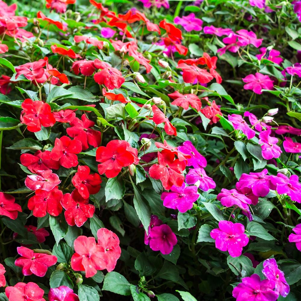 Niecierpek Waleriana Mieszanka Sklep świat Kwiatów Dostawa Gratis