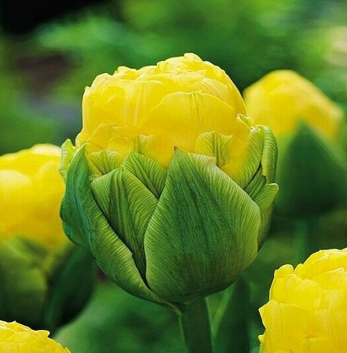 Tulipan Lodowy Beauty Of Apeldorn 5 Szt Sklep Swiat Kwiatow