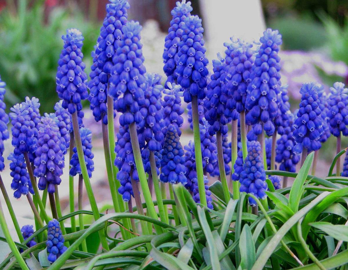 Луковичные растения Фото и названия