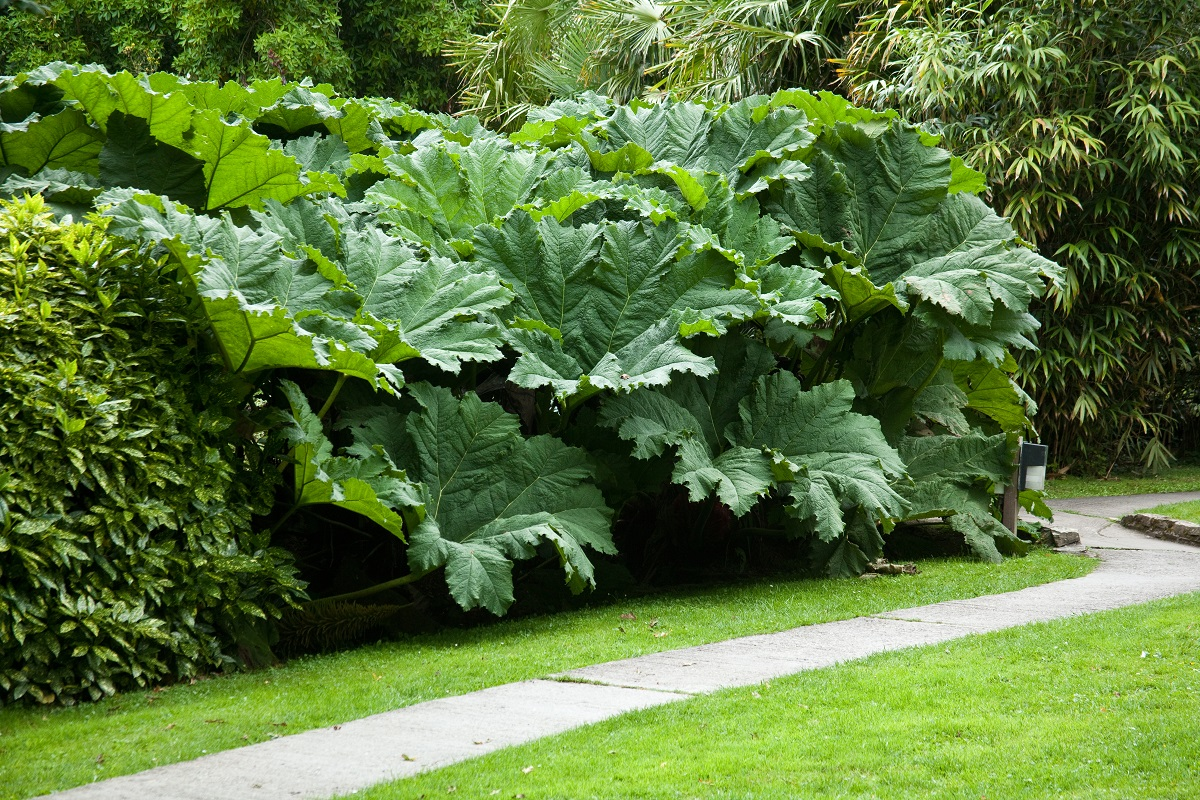 gunnera olbrzymia gunnera manicata gigantyczne li cie. Black Bedroom Furniture Sets. Home Design Ideas