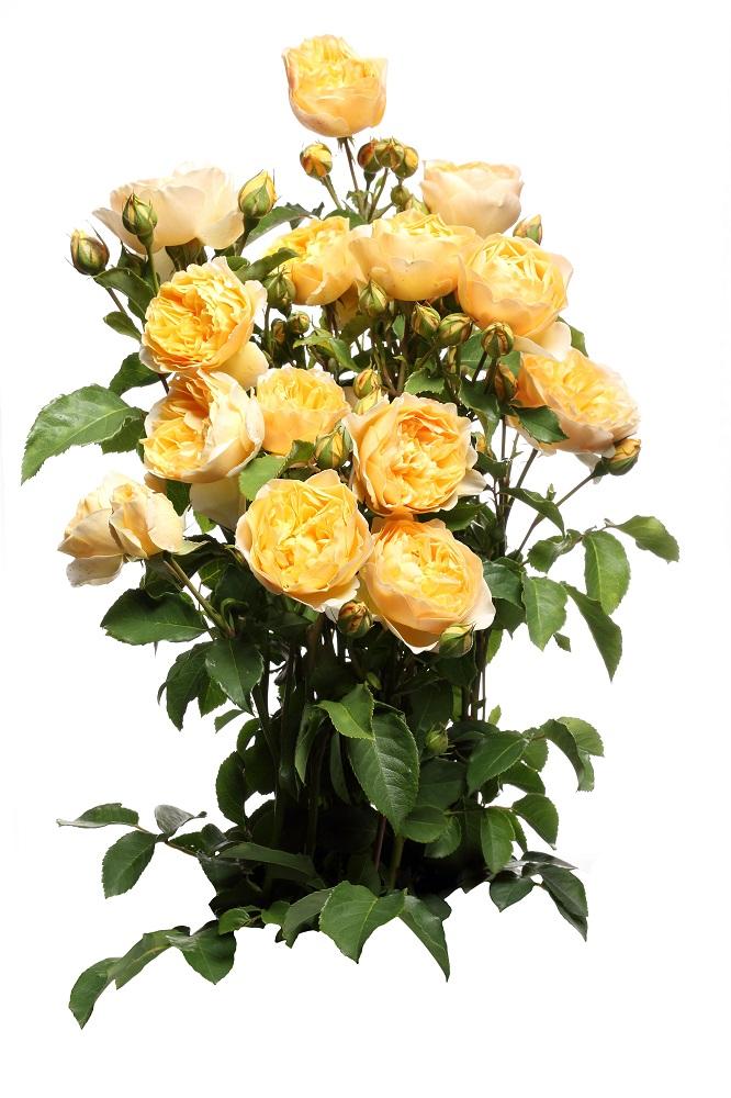 4630472f83105d Róża parkowa żółta - sadzonka - Sklep Świat Kwiatów | Dostawa gratis!