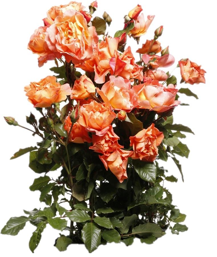 d0599d51afe4c0 Róża parkowa pomarańczowa - sadzonka - Sklep Świat Kwiatów | Dostawa ...