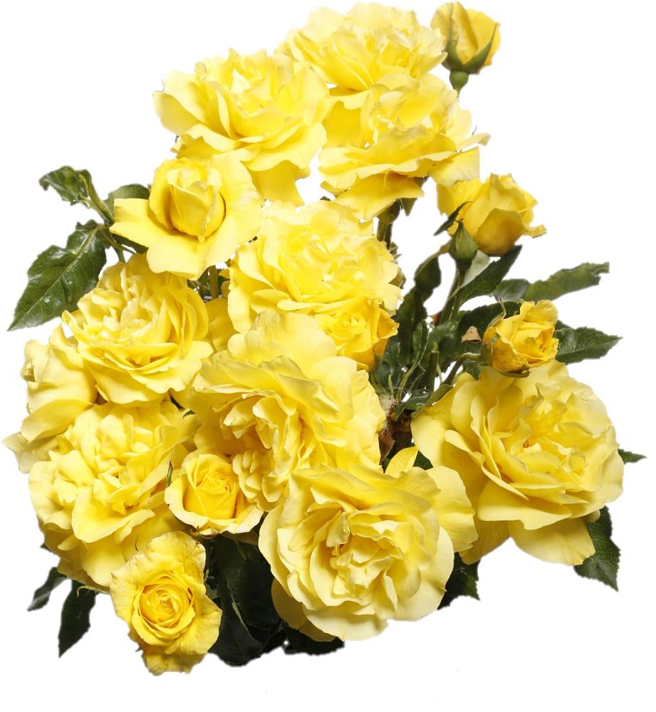c7db5dd0c55252 Róża rabatowa żółta - sadzonka - Sklep Świat Kwiatów | Dostawa gratis!