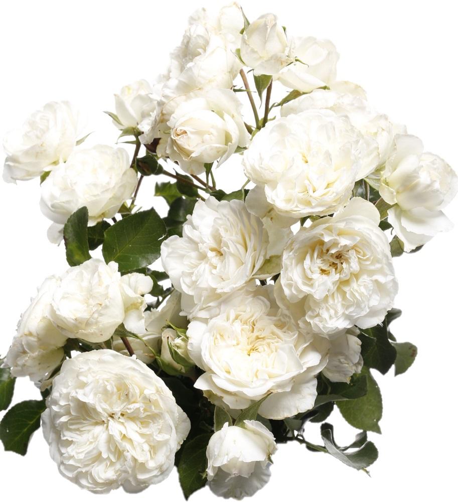 caf32cf36cfaae Róża rabatowa biała - sadzonka - Sklep Świat Kwiatów | Dostawa gratis!