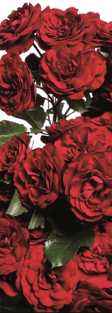 43d78dd5a8b666 Róża rabatowa czerwona - sadzonka - Sklep Świat Kwiatów | Dostawa ...