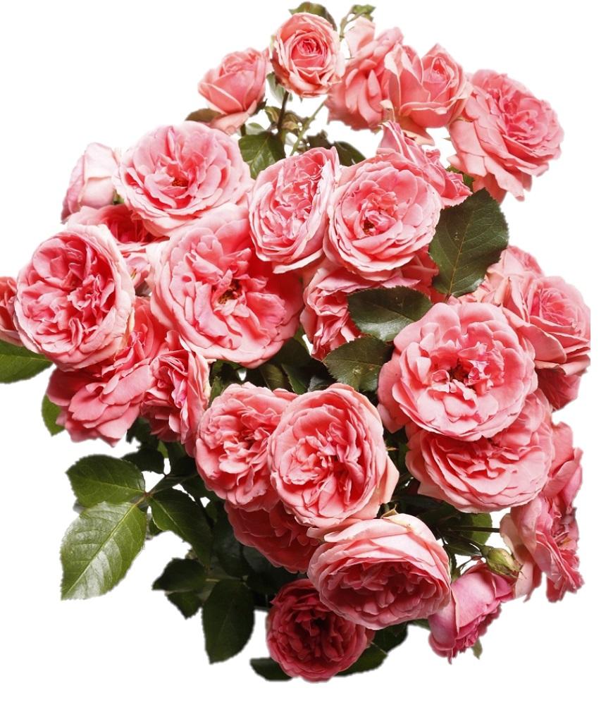 b7064a22f5c932 Róża rabatowa różowa - sadzonka - Sklep Świat Kwiatów | Dostawa gratis!