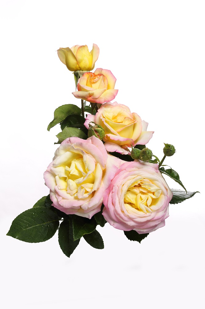 e27b2c2d7df813 Róża wielkokwiatowa cytrynowo-różowa - sadzonka - Sklep Świat ...