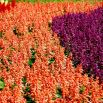 Szałwia błyszcząca - mieszanka kolorów
