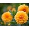 Dalia pomarańczowa - Dahlia Orange