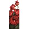 Róża wielkokwiatowa kremowo-czerwona - sadzonka