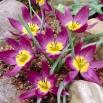 Tulipan botaniczny - Eastern Star - 5 szt.