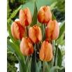 Tulipan pomarańczowy - Orange - 5 szt.