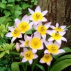 Tulipan Saxatilis - opak. 5 szt.