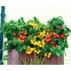 Domowy ogródek - Pomidor Tumbling Tom - mieszanka kolorów - do uprawy w domu i na balkonie