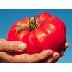 Pomidor Bawole Serce Oxheart - gruntowy Malinowy