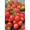 Pomidor Garden Perle - intensywnie czerwony, typu cherry