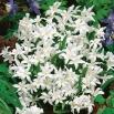 Śnieżnik lśniący biały - Chionodoxa luciliae alba - 10 szt.