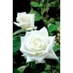 Róża wielkokwiatowa biała - sadzonka