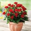 Róża miniaturowa - Dark Red - sadzonka
