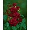 Róża wielkokwiatowa bordowa - sadzonka