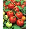 Pomidor Moneymaker - wysoki, gruntowy i pod osłony