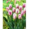 Tulipan Flaming Flag - opak. 5 szt.