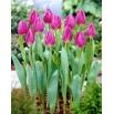 Tulipan Purple Flag - 5 szt.