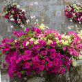 Nasiona kwiatów balkonowych